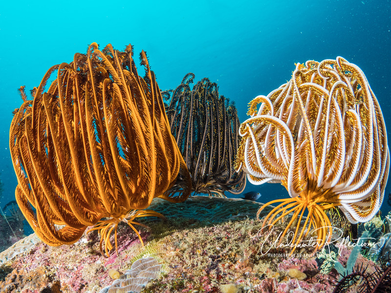 When there is no current, crinoids fold in their arms and rest, their spiky feet clinging to the reef (or walking to places with better current).