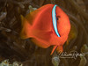 Unlike the larger females, the smaller male Tomato Clownfish (2-3 inches) were almost entirely bright orange!
