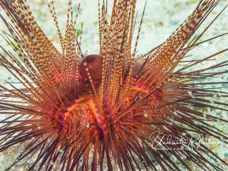 Fire Urchin (6 inches across) - named not ony for its color, which ranges from orange to red and blue, but the excruciating pain if you touch those spines (don't ask how I know!).