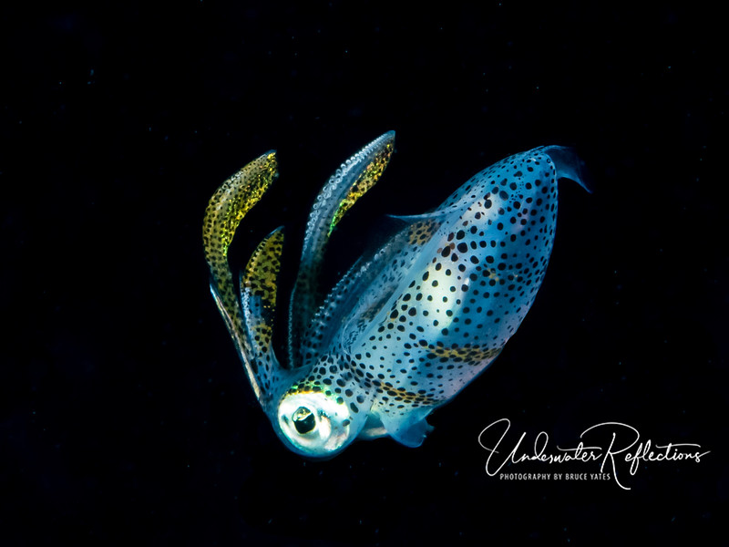 Small (2-3 inch long) squid at night