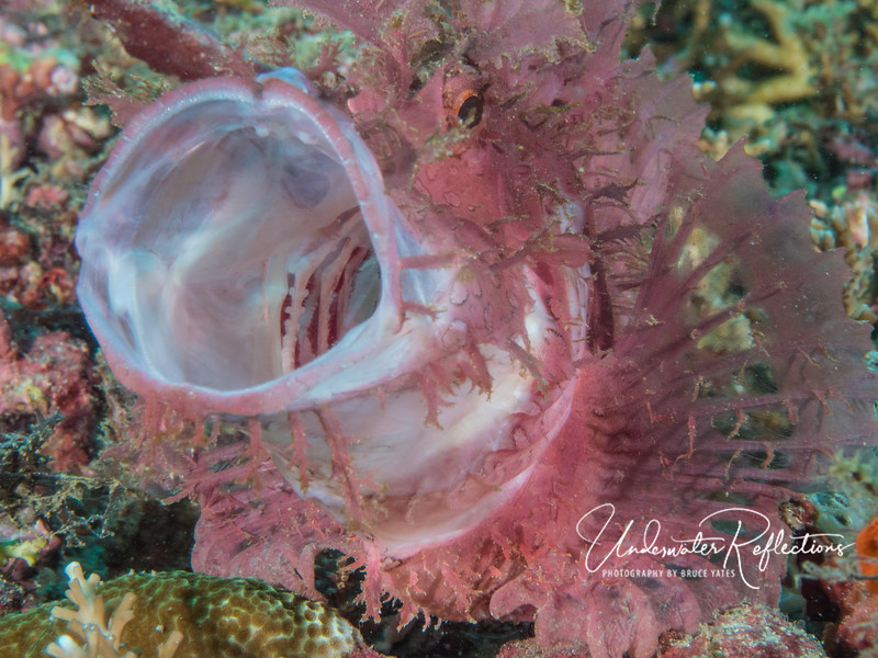 """Rhinopias scorpionfish """"yawning"""" (thought to keep mouth muscles stretched for inhaling prey)."""