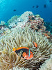 """Pair of Tomato Clownfish (2-3 inches long) living in anemone, only 10-15 ft deep.  I saw more tomato clowns - big, healthy ones - than anywhere else I've ever been...on almost every dive except pure """"muck"""" (i.e., sandy, silty bottom) sites."""