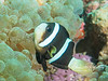 Another Juvenile Clark's Anemonefish (1/2 inch long) but in the less common black color