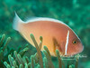 Pink (aka pink skunk) anemonefish (3-4 inches long)