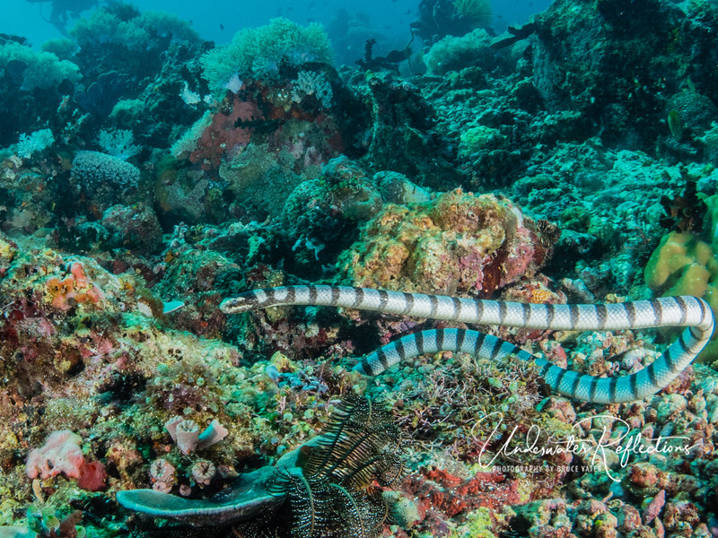 Banded sea snake - only as big around as my thumb, but nearly 4 ft long, the cylindrical body tapers to a vertical paddle at the end.