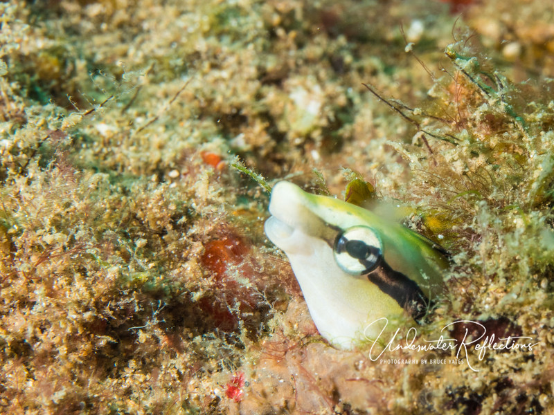 Blenny (portion visible is less than 1/4 inch)