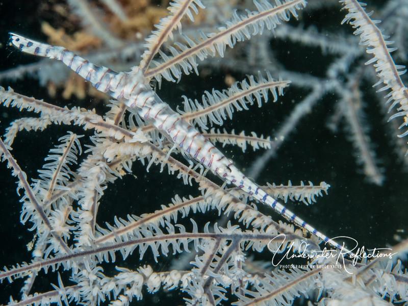 Skinny shrimp with amazing camouflage. (4-inches long)