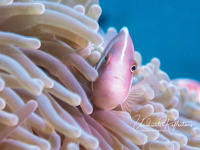 Pink anemonefish - aka pink skunk anemonefish (2 inches long)