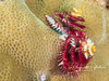 Christmas Tree Worms (1/2 inch high)