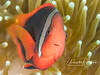 Tomato Clownfish (3-4 inch female) - I saw more Tomato Clowns on this trip than all previous trips to Indonesia and PNG combined!