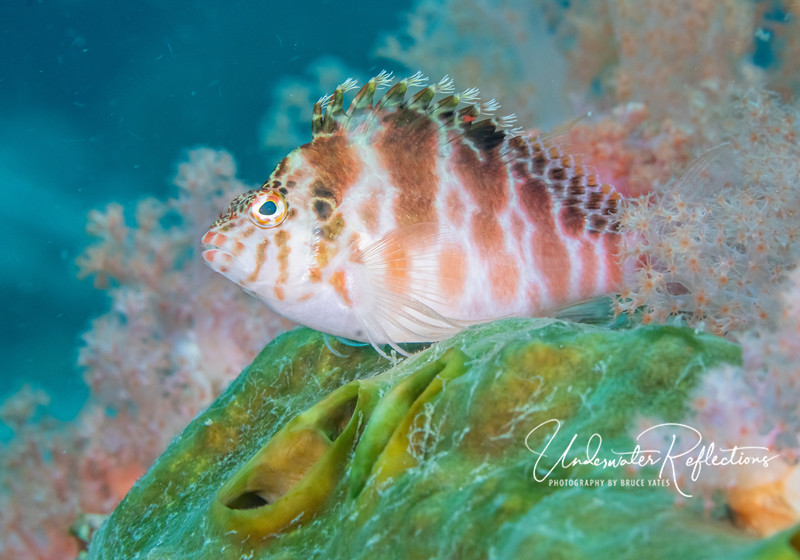 Hawkfish typically perch on surfaces (like this green sponge) that give them a good view.
