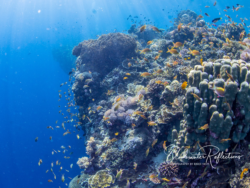 Thousands of small fish (in particular gold and orange anthias) flourish in the hard corals near a wall dropoff