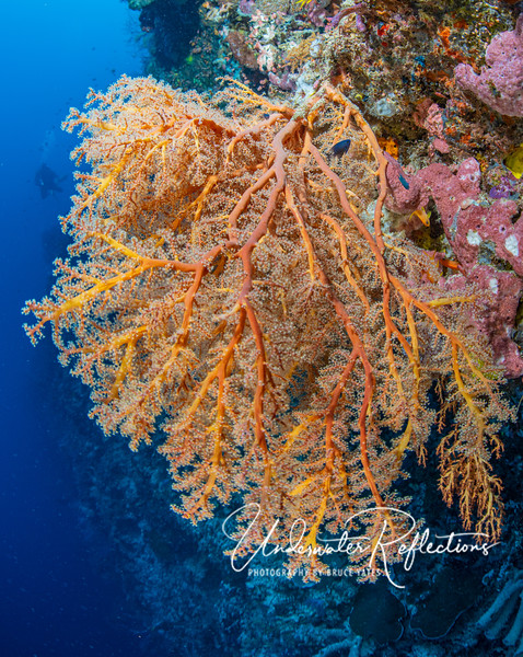 Beautiful orange fan coral (4-5 feet across)