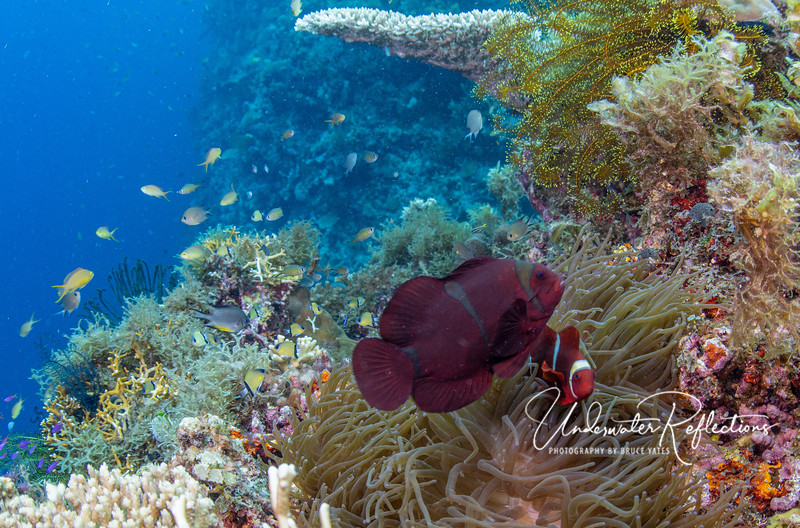 Maroon clownfish pair