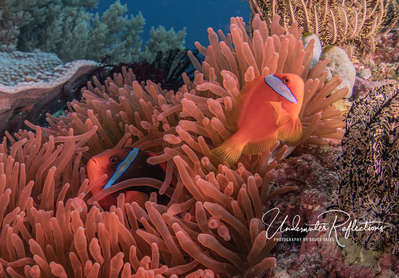 A pair of tomato clownfish (the smaller orange one is the male) live in an unusual, beautiful fuscia-colored anemone.  Anemonefishes have a coating on their bodies that makes them immune to the sting of anemones, whereas most fish (and other predators) avoid anemones because of their sting.  For their part, anemonefish help their host anemone by keeping it clean (by swishing water through it with their tails) and even bringing it bits of food (its mouth is in the center of the tentacles). The female fish is ~5-inches long, whereas the male is 3-4 inches.
