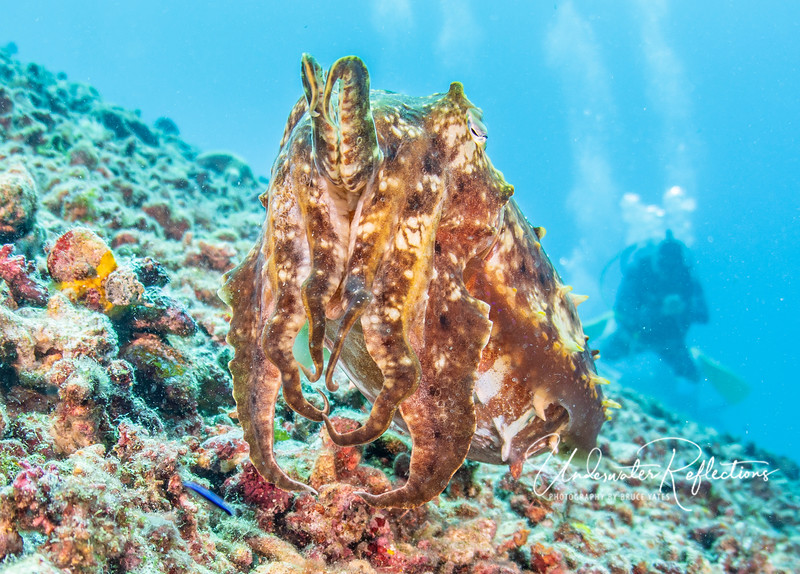 A football-sized cuttlefish (related both to squid and octopus) contorts her tentacles to look as menacing as possible because she has eggs nearby.
