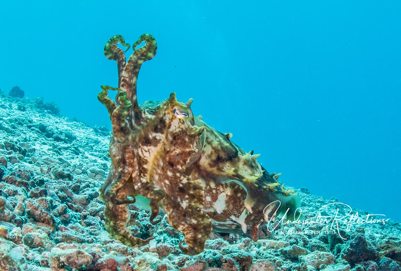 A football-sized cuttlefish (relative of squid) contorts her tentacles and body surface to look as fierce and scary as possible to frighten me (a big predator-looking dude) away, since she was protecting her nearby eggs.