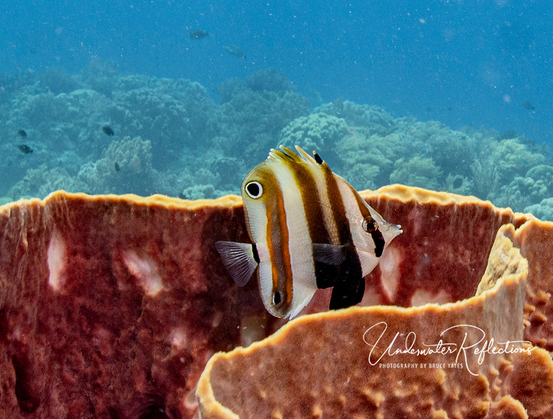 A butterflyfish (4-inches long) peeks out from its hiding place in a large barrel sponge to see what all the racket (me blowing bubbles) is about.  As soon as he saw me (and got his photo taken), he dropped back down into the safety of the sponge.  Note the spot near the rear/top of his body?  That is designed to fool predators into thinking that's his eye/head, whereas his real eye is camouflaged.  If a predator bites the fake eye, that likely isn't fatal (the victim can grow that part of their fin back).