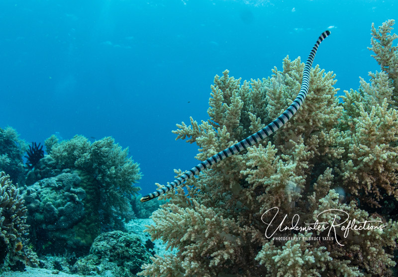 You can tell a sea snake from other snakes (and eels) because their bodies are cylindrical, but their tails are vertically flat, like a paddle.  They swim by waving the tail back and forth from side to side.