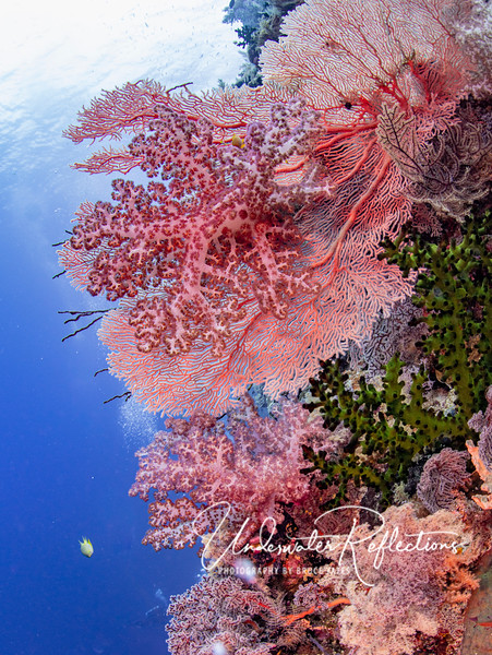 Beautiful coral fans and soft corals (and even a green hard coral) on Gorgonian Wall (Cabilao).  We dove many walls jammed with healthy corals in every shape and color.  You'll see them scattered throughout this trip gallery.