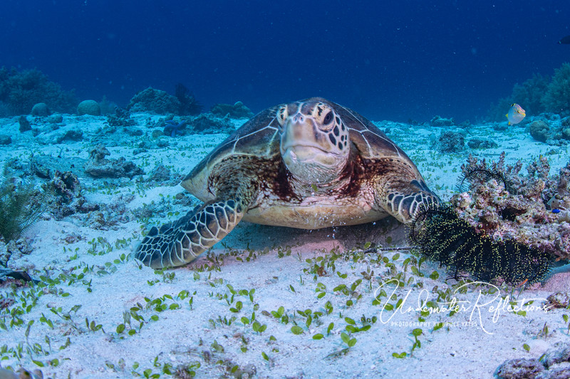 This green turtle was grazing on the short grass you see in the sandy foreground