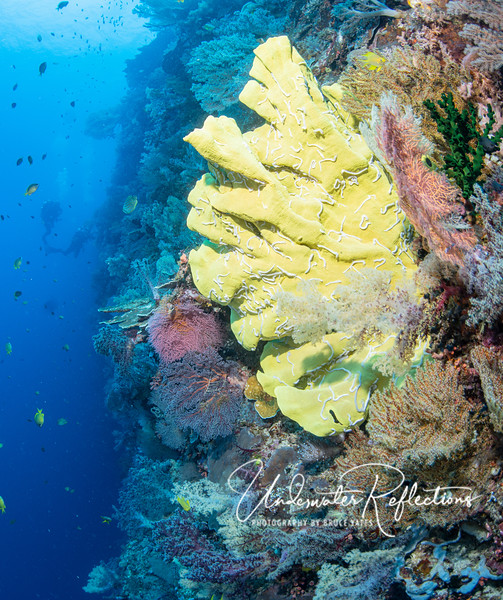 In addition to soft corals, we dove walls with huge elephant-ear sponges, like this 5-6 foot high yellow one.