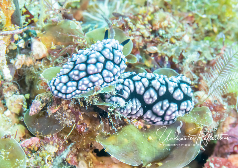 Pair of nudibranchs