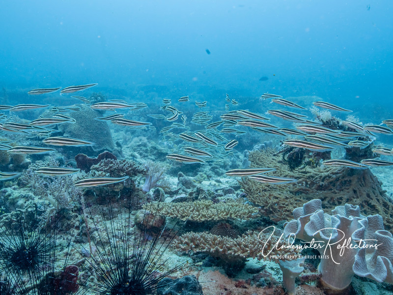 Smaller school of saltwater catfish (4-5 inches long) swarm along the reef like marauders.