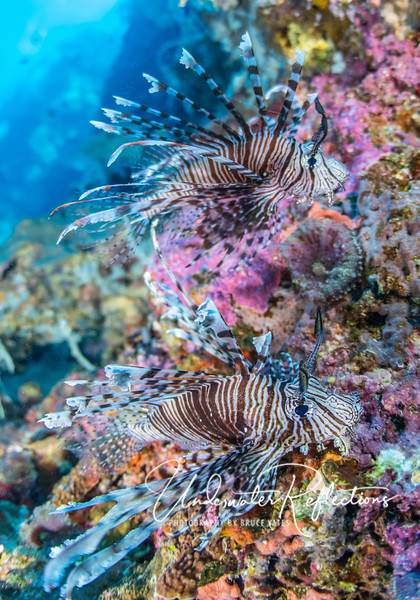 Two lionfishes