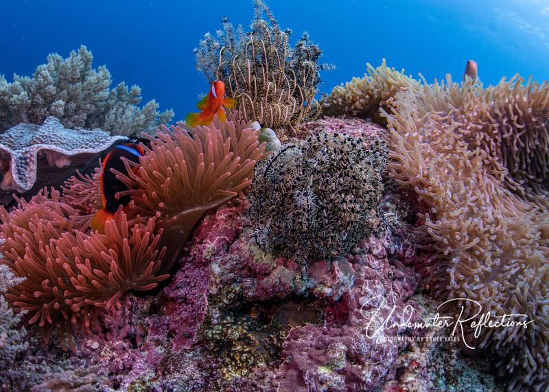 Note how close the Tomato clownfishes' brilliantly colored anemone (left) is to a different species of anemone (right) that is home to several Pink anemonefishes (only one is visible above).
