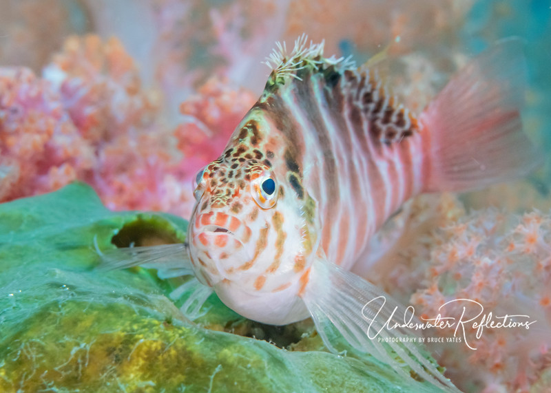 Hawkfish...unable to decide what to make of me.