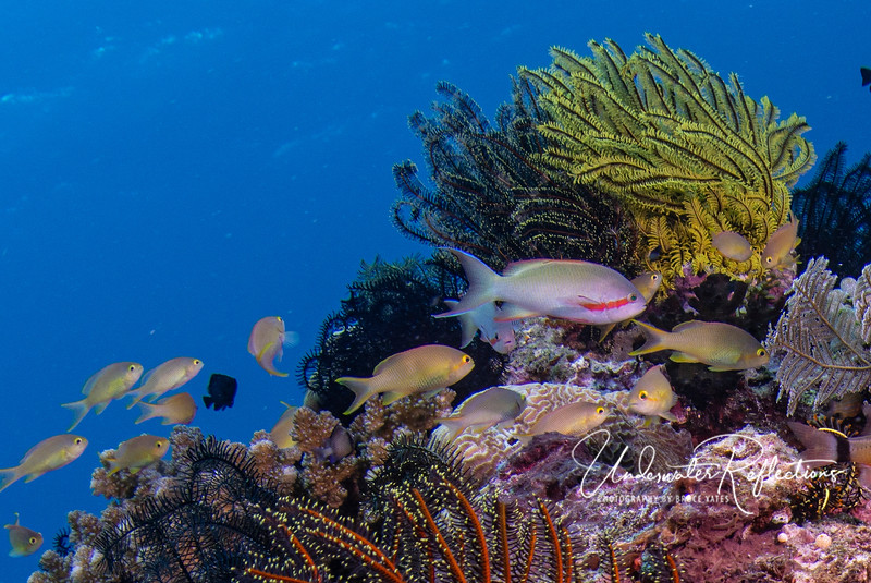 The anthias with the red cheek stripe is the male, and each male has 20-30 gold/orange females.  When a male dies, the highest ranking female changes sex and becomes the new male for the group.