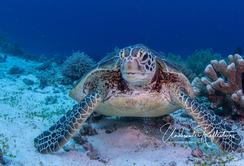 Apo Island and several other places we dove are protected area, and are therefore also home to healthy sea turtle populations.  Notice this green sea-turtle's rounded bottom shell...a sign of a constantly full tummy!