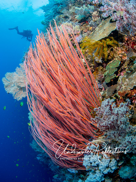 Red whip-corals, 3-4-feet long, also grow among soft corals on healthy walls.