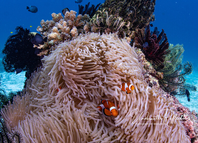 False clown anemonefishes - same species as Nemo