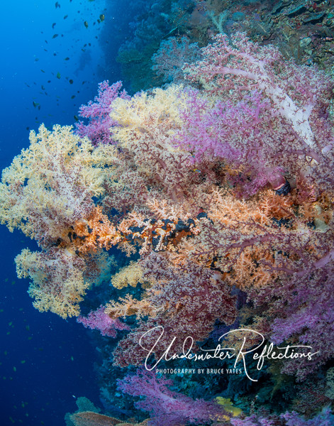 Pastel wall of  soft corals - I count eight different colors!