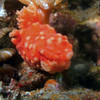 Gymnodoris aurita