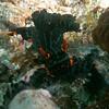 Nembrotha kubaryana (Nembrotha nigerrima)