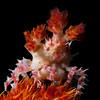 Soft Coral Crab, Hoplophrys oatesii