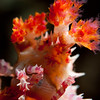 Soft Coral Crab