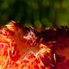 Ridged Egg Cowry, Diminovula culmen, on soft coral.