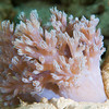Xenia coral.