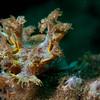 Marionia sp. Nudibranch