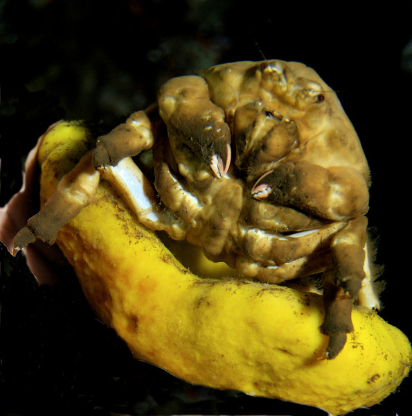 """""""Jabba The Hut"""" a/k/a sponge crab. Formal name: """"Lauridramia dehaani"""". It often drags a sponge around with it, sometimes to hide under."""