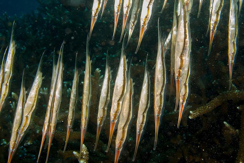 3353 shrimpfish