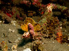 3344 leaf scorpionfish