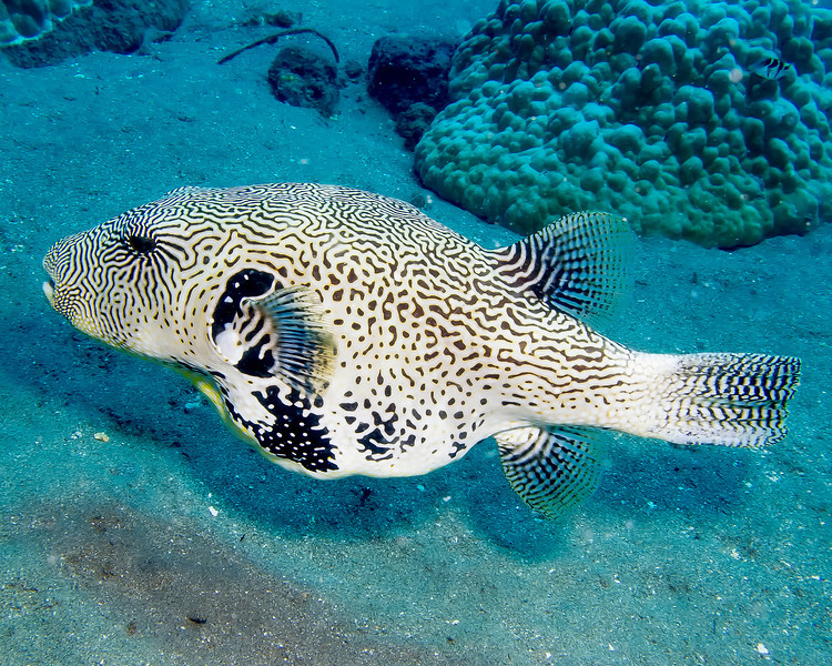 3672 pufferfish