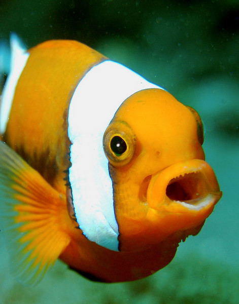 Clownfish of course.