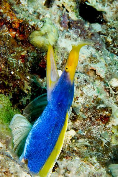 2970 blue stripped eel