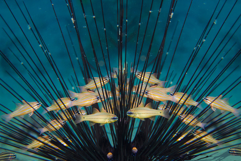 Small fish swimming among sea urchin spines.